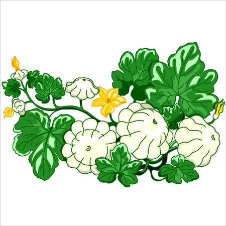 cymbling: Vector isolated illustration. Patty pan squash.  Pattypan squash growing on a white background. Illustration