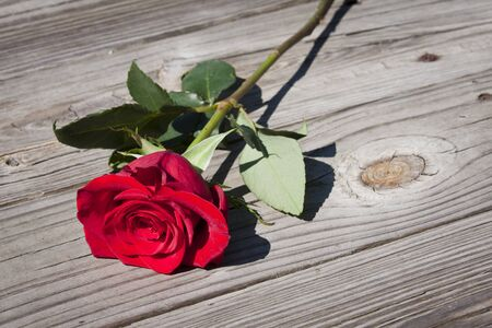 A red rose on a wooden floor photo