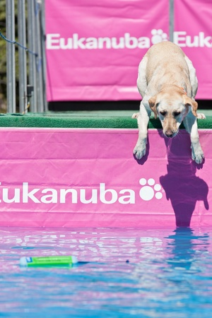 retrieve: Vail, Colorado, USA - June 3rd 2011 - The Teva Mountain Games - Dockdogs : Big air Wave - Dogs have to do the longest jump in the water to retrieve their favorite toy, but some are hesitating and need motivation...
