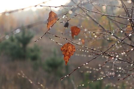Few autumn birch leaves on the tree closeup with water drops. Lyric landscape. Autumn mood. Sad and lonely.