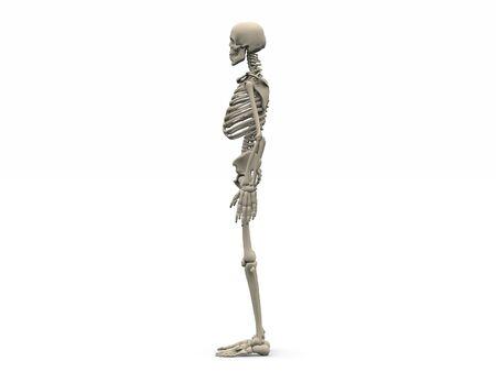 scheletro umano: rendering digitale di uno scheletro umano nella vista laterale