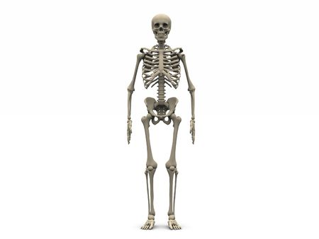 digital render of a human skeleton in frontal view