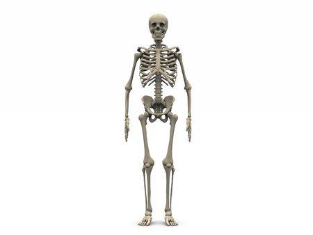 frontal view: digital render of a human skeleton in frontal view