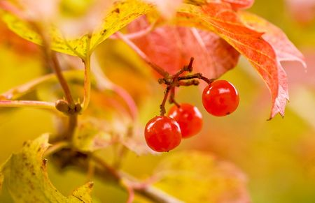 guelderrose: Berry guelder-rose red Stock Photo