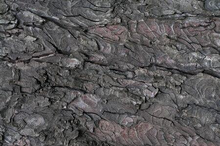 crack willow: Bark of tree Stock Photo