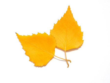 Two autumn birch leaves  photo