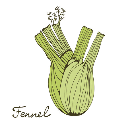 Colorful hand drawn card with fennel. Illustration in vector format