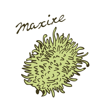 maroon: Maroon cucumber called maxixe in Portuguese. Vector illustration Illustration