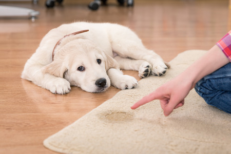 ゴールデン ・ リトリーバーの子犬が彼の罰から有罪判決を探して