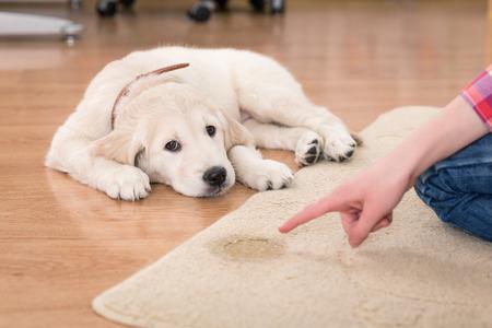 Golden retriever puppy patrząc z jego winy kara