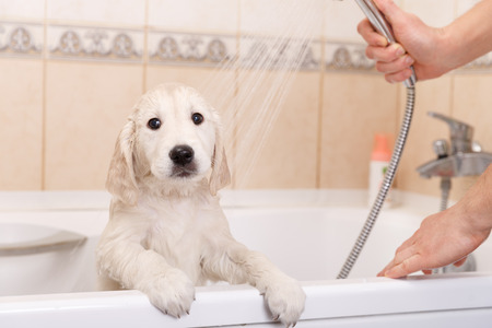 golden retriever puppy: golden retriever puppy is taking a shower at home