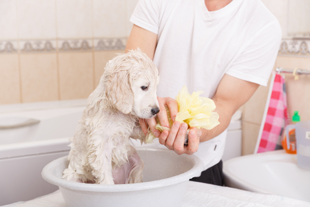 female in douche: golden retriever puppy is taking a shower at home