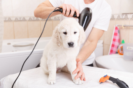 grooming: Owner is grooming the fur of retriever puppy after shower