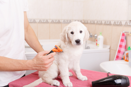 fur: Owner is combing out the fur of retriever puppy after shower
