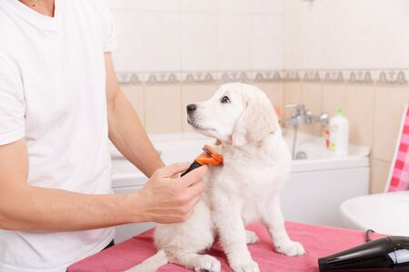 grooming: Owner is combing out the fur of retriever puppy after shower