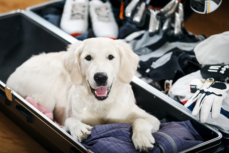 Dog is helping his owner golfer to packi suitcase to golf tour
