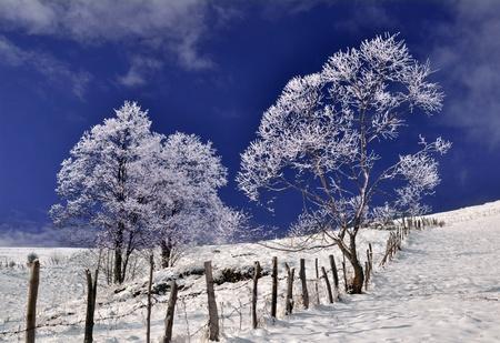 wintry: Frozen trees in wintry landscape  Stock Photo