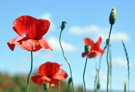 opium poppy: Field with corn-poppy in front of blue sky