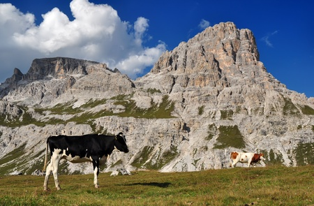 Cow in the Dolomites Mountains, Italy photo