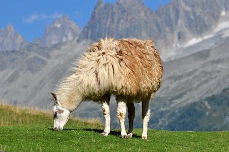 llama: White llama in mountain view Stock Photo
