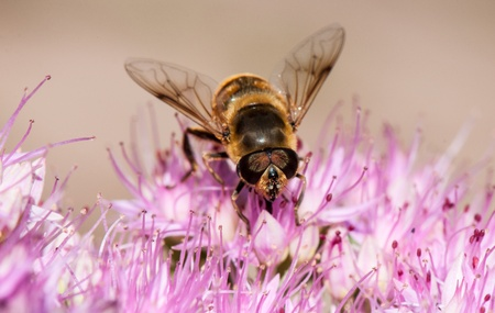 Honey bee in close-up, collecting nectar from a flower photo
