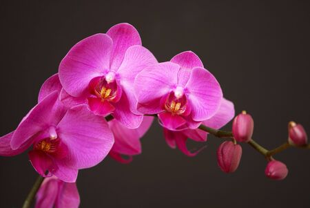 Pink orchid with buds on a black background photo