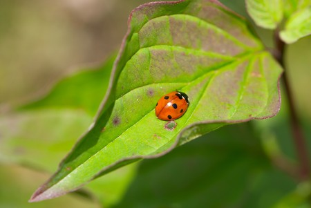 Ladybird beetle (Coccinella septempunctata) on a fly to eat on a leaf Stock Photo - 8025371