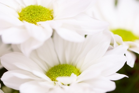 Beautiful white chrysanthemum close-up