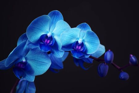 Blue orchid with buds on a black background