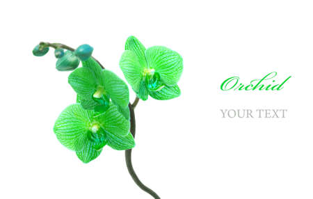 Blue orchid isolated on white background Stock Photo - 9006486
