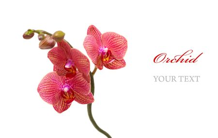 Red orchid isolated on white background Stock Photo - 9145152