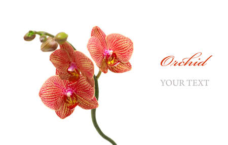 Red orchid isolated on white background Stock Photo - 9275256