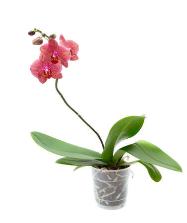 Pink orchid isolated on white background Stock Photo - 9275247