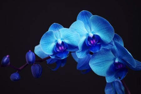 Blue orchid with buds on a black background photo