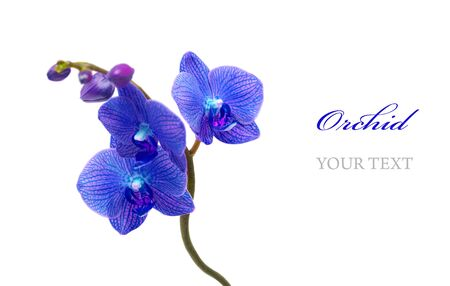 Blue orchid isolated on white background Stock Photo - 9298327