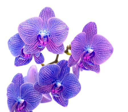 pink orchid: Beautiful blue orchid isolated on white background
