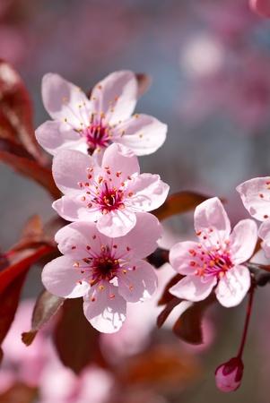 cerisier fleur: Fleur de cerisier Rose en pleine floraison Banque d'images