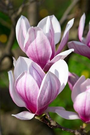 Spring magnolia tree blossoms in the garden