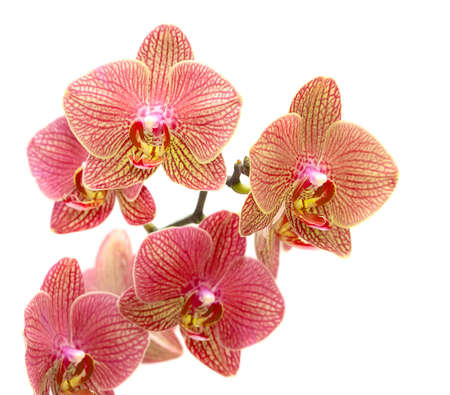Beautiful red orchid isolated on white background