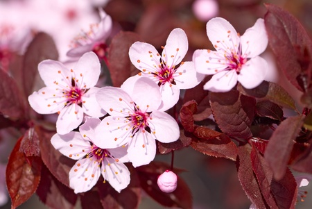 Pink cherry blossom in full bloom