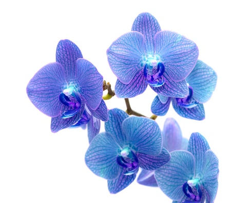 single object: Beautiful blue orchid isolated on white background