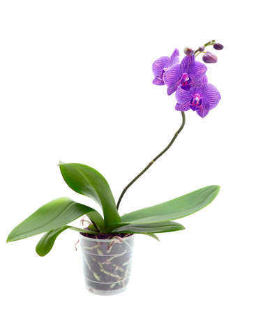 Violet orchid isolated on white background Stock Photo - 9711227