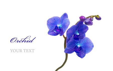 Blue orchid isolated on white background Stock Photo - 9711277