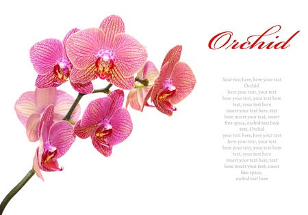 text pink: Beautiful pink orchid isolated on white background (with sample text)