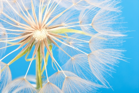 Dandelion extremly closeup on blue sky background