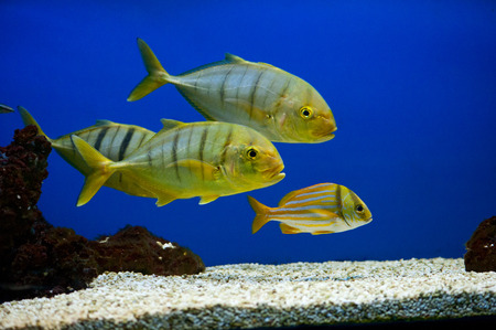 Yellow fish with black stripes (Gnathanodon speciosus) photo