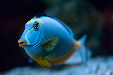 naso: Tropical Fish Naso Tang (Naso lituratus)