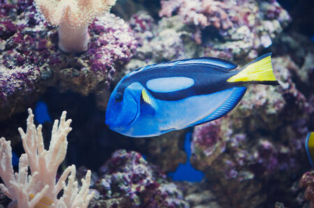 Full Side View of Blue Regal Tang - Paracanthurus Hepatus photo