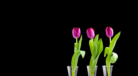 Three vibrant Tulips in vases on a black background photo