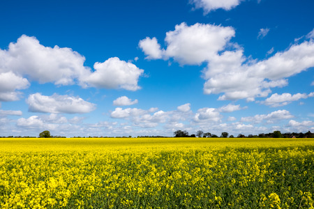 cloudy sky: Rape seed field set against the blue cloudy sky.